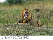 Купить «Лев зевает», фото № 20722542, снято 12 августа 2015 г. (c) Эдуард Кислинский / Фотобанк Лори
