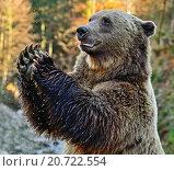 Купить «Карпатский бурый медведь», фото № 20722554, снято 1 января 2012 г. (c) Эдуард Кислинский / Фотобанк Лори