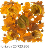 Физалис и дубовые листья. Стоковое фото, фотограф Виктор Дряхлов / Фотобанк Лори