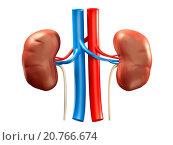 Купить «Human kidneys medical 3D illustration isolated on white background.», фото № 20766674, снято 16 октября 2018 г. (c) age Fotostock / Фотобанк Лори