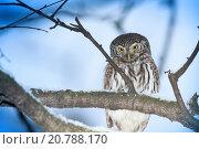 Сыч воробьиный. Pygmy Owl (Glaucidium passerinum). Стоковое фото, фотограф Василий Вишневский / Фотобанк Лори