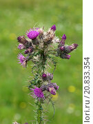 Купить «Marsh Thistle, Cirsium palustre, purple flowering plant in a downland meadow, Berkshire, England, July», фото № 20833354, снято 18 января 2019 г. (c) age Fotostock / Фотобанк Лори