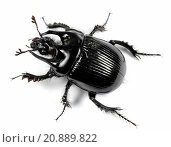 Minotaur beetle (Typhaeus typhoeus, Typhoeus typhoeus), cutout. Стоковое фото, фотограф A. Rose / age Fotostock / Фотобанк Лори