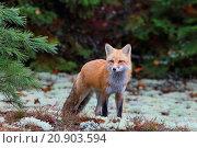 Купить «red fox (Vulpes vulpes), stands at forest edge, Canada, Ontario, Algonquin Provincial Park», фото № 20903594, снято 17 октября 2014 г. (c) age Fotostock / Фотобанк Лори