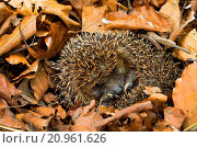 Купить «Western hedgehog, European hedgehog (Erinaceus europaeus), overwintering in leaf litter, Germany», фото № 20961626, снято 11 мая 2015 г. (c) age Fotostock / Фотобанк Лори