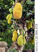bread fruit (Artocarpus altilis), ripe fruits on the tree, Madagascar. Стоковое фото, фотограф B. Trapp / age Fotostock / Фотобанк Лори