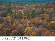 Купить «Fall colors on trees in mixed forest, Shasta National Forest, near Burney, California.», фото № 21011062, снято 6 ноября 2009 г. (c) age Fotostock / Фотобанк Лори