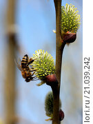 Купить «Goat willow, female flowers with bee», фото № 21039242, снято 14 октября 2019 г. (c) age Fotostock / Фотобанк Лори