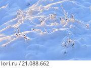 Клюква на болоте покрытая белым снегом видна в свете утреннего морозного солнца. Стоковое фото, фотограф Сергей Кудрявцев / Фотобанк Лори
