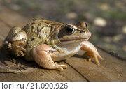 Жаба. Стоковое фото, фотограф Анастасия Колганова / Фотобанк Лори