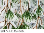 Купить «Scots pines (Pinus sylvestris) covered in snow.», фото № 21093686, снято 8 февраля 2015 г. (c) age Fotostock / Фотобанк Лори