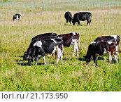 Купить «Коровы черно-белые стадо», фото № 21173950, снято 18 июля 2014 г. (c) Резеда Костылева / Фотобанк Лори