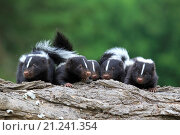 United States, Minnesota, Striped Skunk Mephitis mephitis, babies. Стоковое фото, фотограф Morales / age Fotostock / Фотобанк Лори