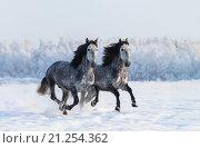 Купить «Пара серых скачущих лошадей в поле зимой», фото № 21254362, снято 22 января 2016 г. (c) Абрамова Ксения / Фотобанк Лори