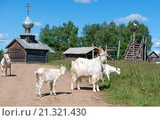 Купить «Стадо коз во главе с большим белым козлом на деревенской улице», фото № 21321430, снято 5 августа 2015 г. (c) Pukhov K / Фотобанк Лори