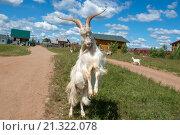 Купить «Белый козел с большими рогами угрожает, встав на задние лапы», фото № 21322078, снято 5 августа 2015 г. (c) Pukhov K / Фотобанк Лори