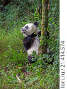 Купить «Asia, China, Sichuan, Research Base of Giant Panda Breeding or Chengdu Panda Base, Giant Panda Ailuropoda melanoleuca, captive,.», фото № 21414574, снято 17 октября 2018 г. (c) age Fotostock / Фотобанк Лори