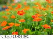 Красные цветы цветущие в саду. Стоковое фото, фотограф Павел С. / Фотобанк Лори