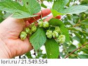 Купить «green hops in hand», фото № 21549554, снято 5 сентября 2008 г. (c) easy Fotostock / Фотобанк Лори