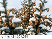 Купить «Blue spruce branches with cones in winter», фото № 21609590, снято 24 января 2016 г. (c) Володина Ольга / Фотобанк Лори
