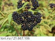 Купить «Elder berries», фото № 21667106, снято 23 июля 2019 г. (c) PantherMedia / Фотобанк Лори