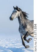 Серая скачущая лошадь крупным планом. Стоковое фото, фотограф Абрамова Ксения / Фотобанк Лори