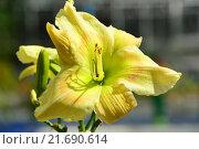 Купить «Лилейник гибридный Kenneth Cobb, (Elliottr. 88 г.)», эксклюзивное фото № 21690614, снято 6 августа 2015 г. (c) lana1501 / Фотобанк Лори