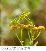 Купить «Саранча. Большой кузнечик сидит на осеннем цветке», эксклюзивное фото № 21702210, снято 21 августа 2015 г. (c) Игорь Низов / Фотобанк Лори