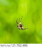 Купить «Пятнистый паук висит на нитке паутины», эксклюзивное фото № 21702486, снято 9 июня 2015 г. (c) Игорь Низов / Фотобанк Лори