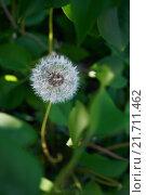 Пушистый одуванчик в листве. Стоковое фото, фотограф Дмитрий Загурский / Фотобанк Лори