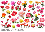 Купить «A collage of flowers of roses of different colors and varieties on a white background isolated», фото № 21713390, снято 20 июня 2015 г. (c) Наталья Волкова / Фотобанк Лори