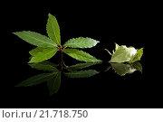 Купить «Bay leaves isolated on black.», фото № 21718750, снято 23 февраля 2019 г. (c) PantherMedia / Фотобанк Лори