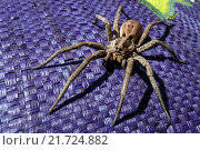 Torre Alfina, Italy, wolf spider. Стоковое фото, агентство Caro Photoagency / Фотобанк Лори