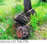 Купить «Три пня от спиленных берез в лесу», фото № 21726770, снято 2 июля 2015 г. (c) Алексей Маринченко / Фотобанк Лори