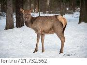 Купить «Благородный олень в зимнем лесу», фото № 21732562, снято 21 октября 2019 г. (c) Михаил Михин / Фотобанк Лори