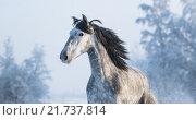 Купить «Портрет серого коня на фоне зимнего леса», фото № 21737814, снято 22 января 2016 г. (c) Абрамова Ксения / Фотобанк Лори