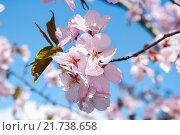 Купить «Цветы сакуры», фото № 21738658, снято 30 апреля 2012 г. (c) Алёшина Оксана / Фотобанк Лори