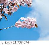 Купить «Ветка цветущей сакуры», фото № 21738674, снято 30 апреля 2012 г. (c) Алёшина Оксана / Фотобанк Лори