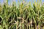 Поле кукурузы, фото № 21740702, снято 26 августа 2014 г. (c) Владимир Журавлев / Фотобанк Лори