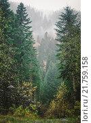 Вечнозеленый лес - зеленые вершины высоких деревьев в густом тумане. Стоковое фото, фотограф Иванов Александр Сергеевич / Фотобанк Лори