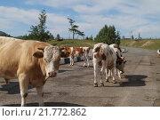 Бык и коровы на автомобильной дороге. Стоковое фото, фотограф Evgeniy Cherkes / Фотобанк Лори