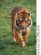 Купить «Sumatran Tiger, panthera tigris sumatrae, Male walking.», фото № 21780010, снято 14 декабря 2019 г. (c) age Fotostock / Фотобанк Лори