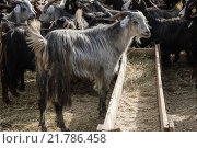 Купить «Goats and Sheep at Animal Market», фото № 21786458, снято 26 апреля 2019 г. (c) PantherMedia / Фотобанк Лори