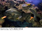 Леопардовая мурена (Gymnoihorax favagineus) Стоковое фото, фотограф Сергей Гусев / Фотобанк Лори