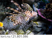 Крылатка-зебра (Pterois volitans) Стоковое фото, фотограф Сергей Гусев / Фотобанк Лори