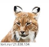 Купить «Siberian lynx portrait on white», фото № 21838134, снято 14 июля 2011 г. (c) Наталья Волкова / Фотобанк Лори