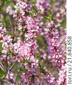 Купить «Ветка цветущего миндаля степного (Prunus tenella)», фото № 21840858, снято 5 мая 2012 г. (c) Алёшина Оксана / Фотобанк Лори