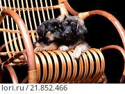 Купить «Два щенка лежат на плетеной качалке», фото № 21852466, снято 13 февраля 2016 г. (c) Стивен Жингель / Фотобанк Лори