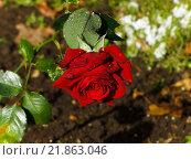 Купить «Капли на цветке розы», фото № 21863046, снято 8 октября 2015 г. (c) Алексей Ларионов / Фотобанк Лори
