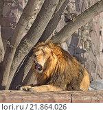 Азиатский лев. Львиный рык. Стоковое фото, фотограф Валерия Попова / Фотобанк Лори